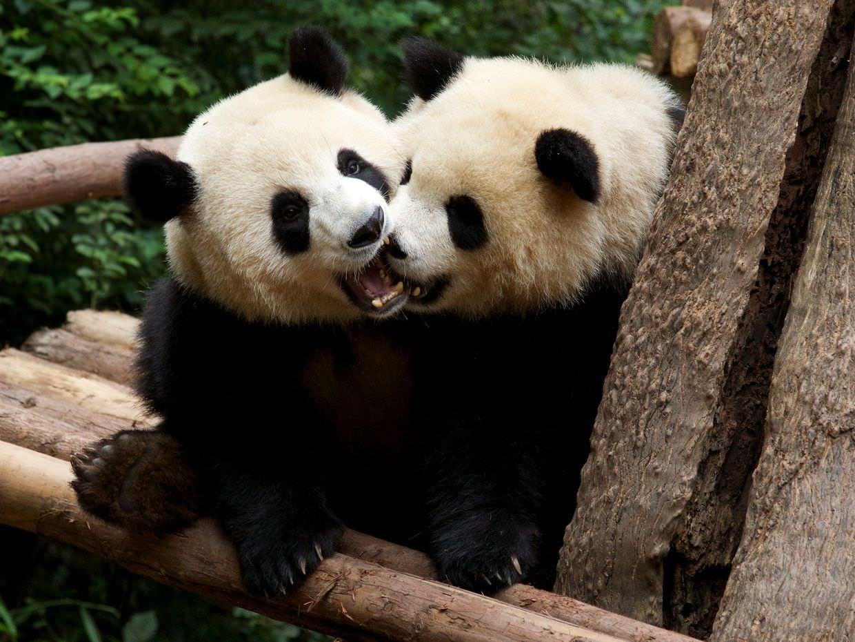 Great mates — the adorable and playful giant pandas