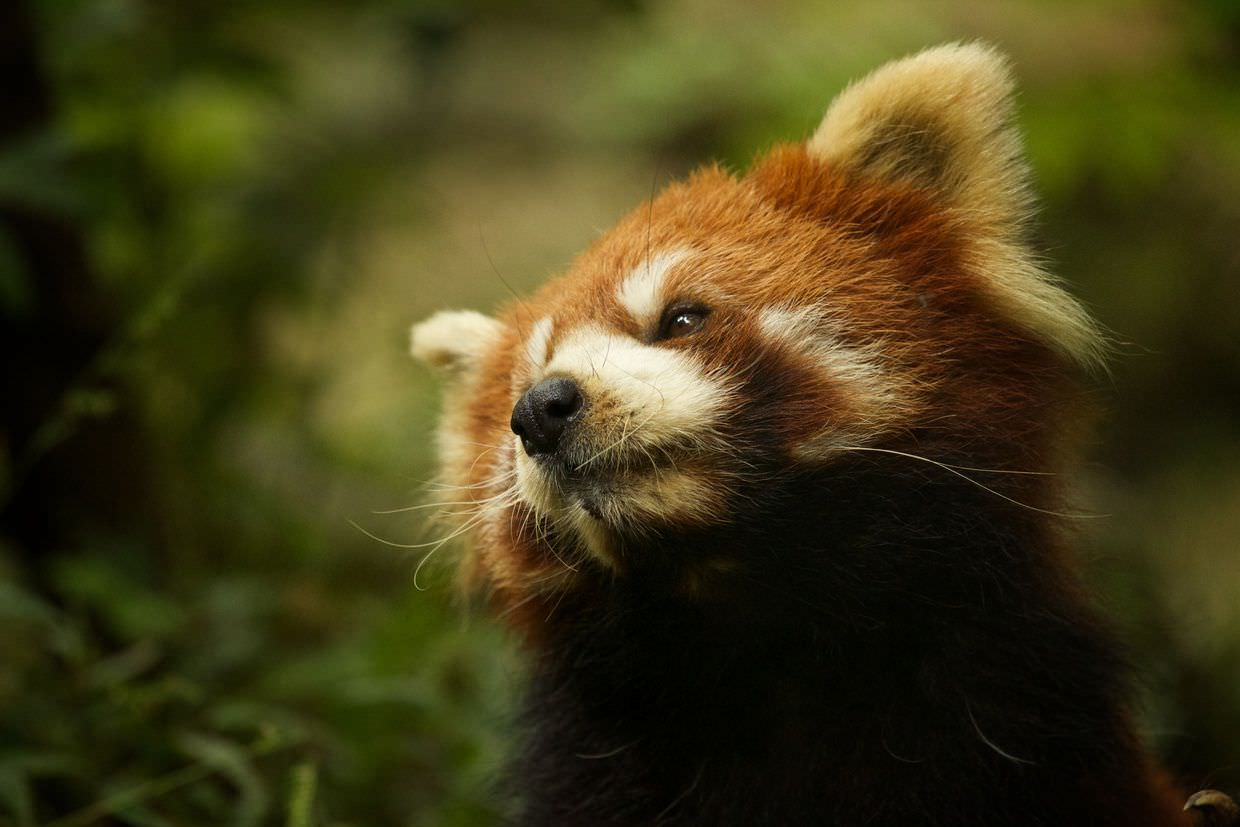 Red panda looking up from his morning stroll