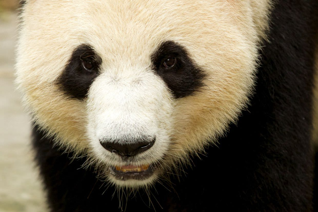 Adult giant panda on the move