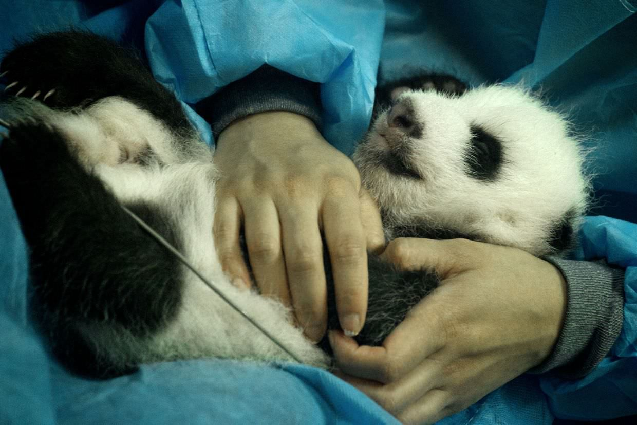 One month old panda at Sunshine delivery house
