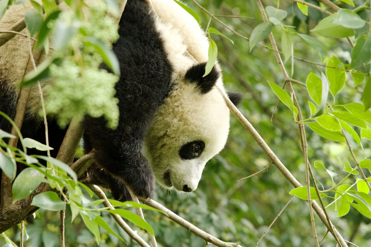 One year-old panda in the treetops