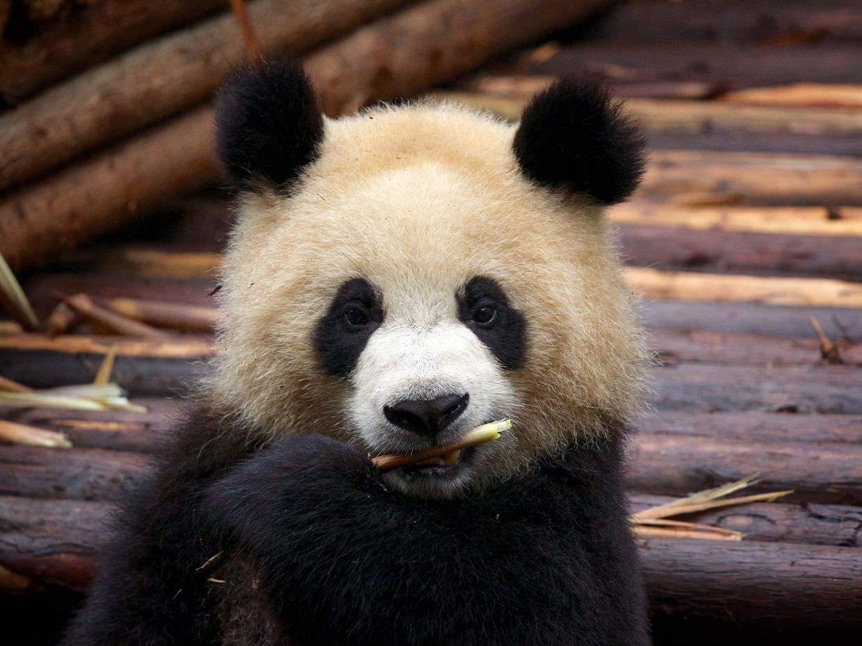 Two-year old Giant panda, on our second consecutive visit to the base