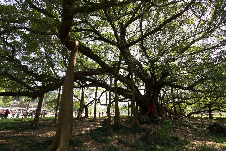 1400 year old Banyan tree