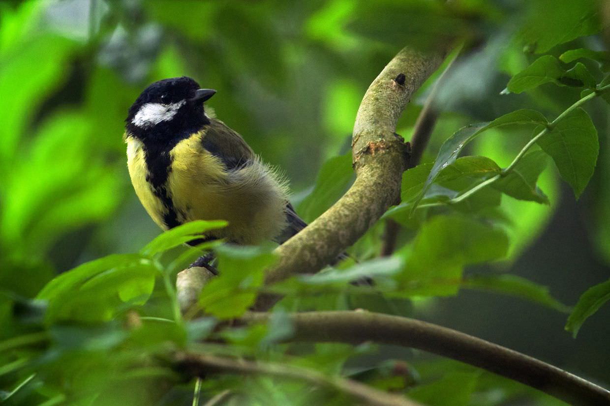 Great Tit at Eal's Lodge