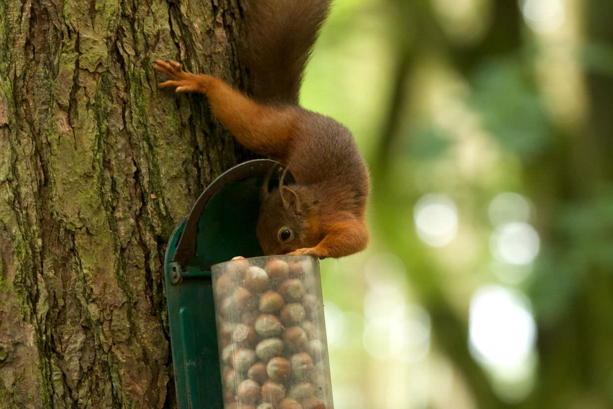 Red Squirrel at Leaplish