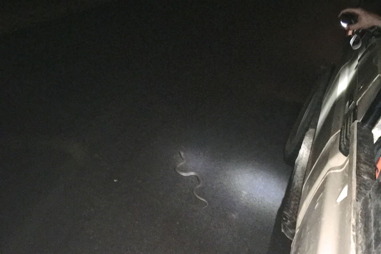 An unidentified snake after emerging from under the truck