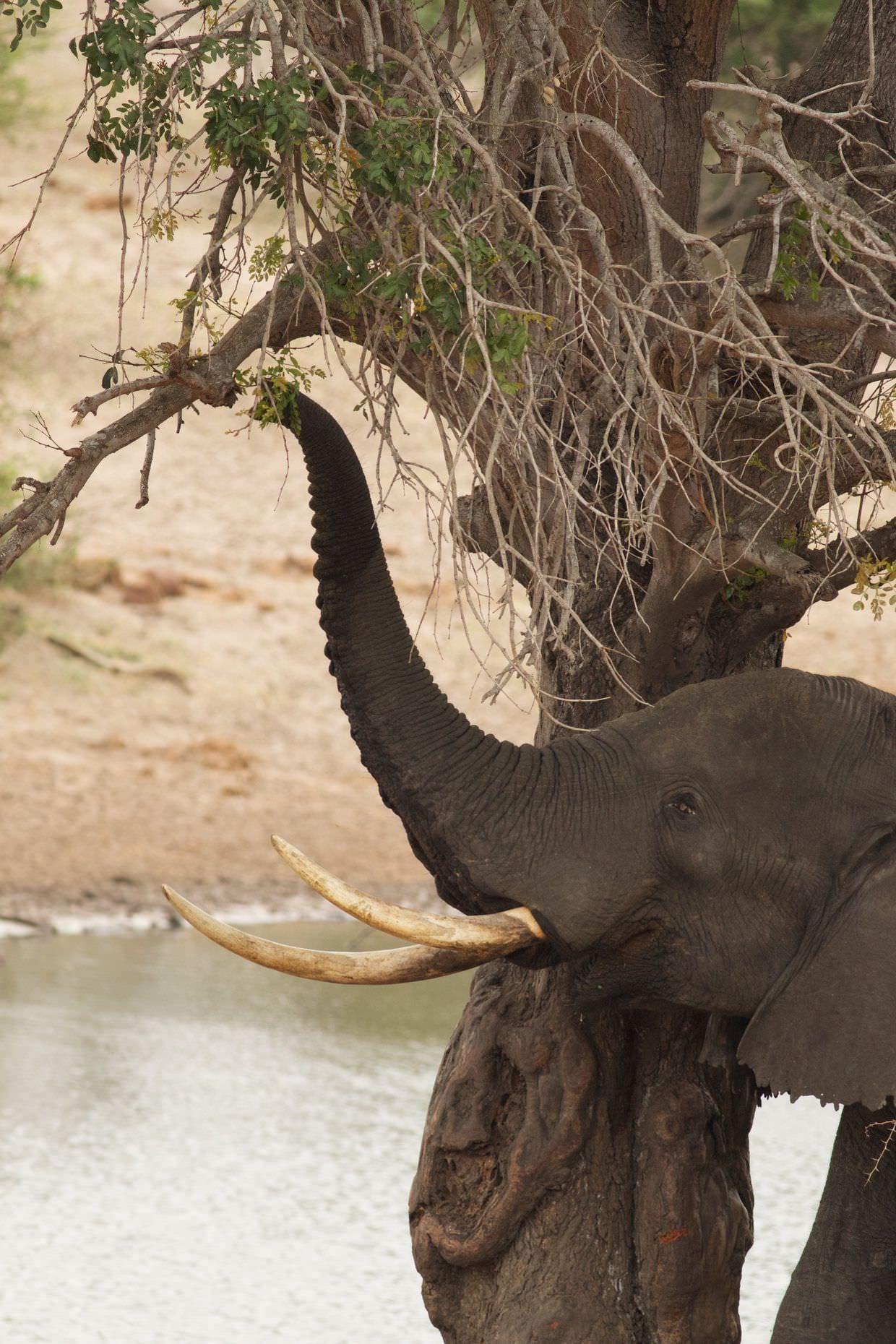 An elephant feeding at Mahlasela hide