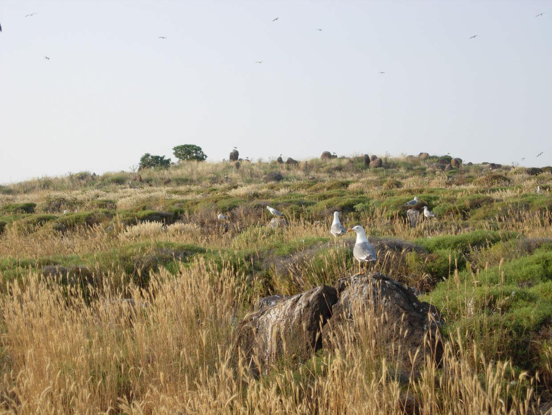 Seagulls on rabbit island