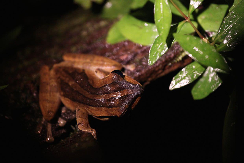 Five-horned frog hiding beneath us