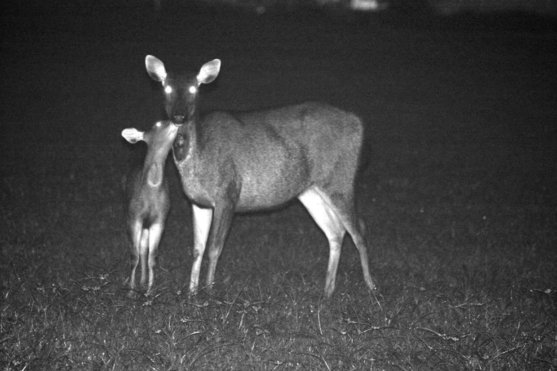 Sambar deer and calf