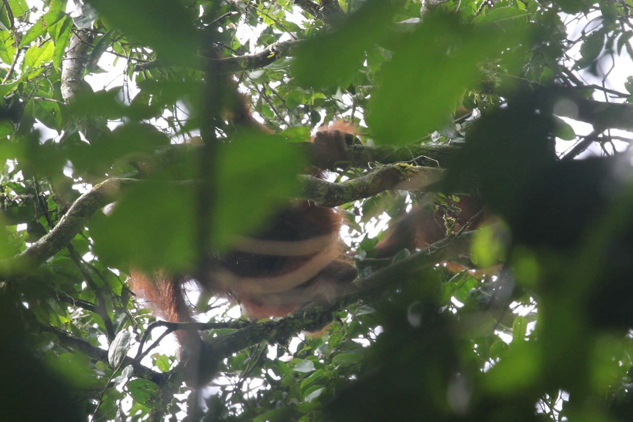Two wild orangutan in Danum valley