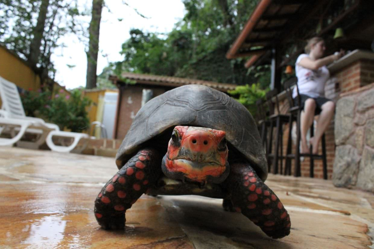 Hungry tortoise wants your toes