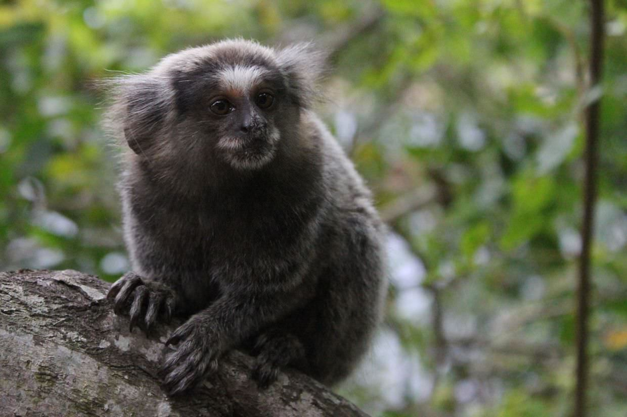Marmoset poses for us on the Pista Claudio Coutinho trail