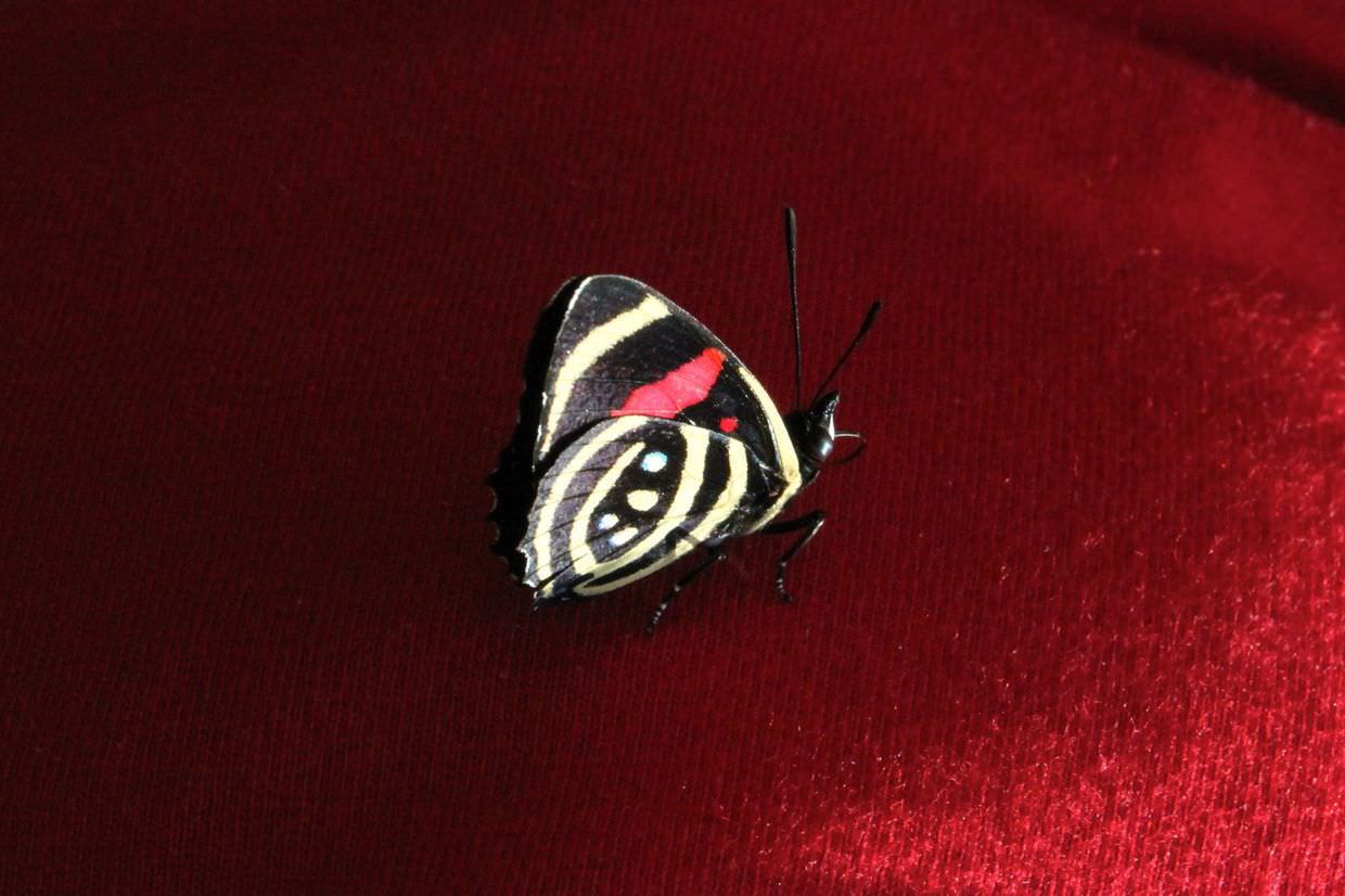 Little Callicore butterfly