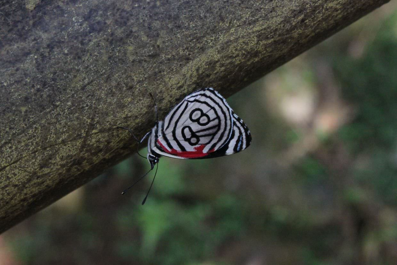 88 butterfly (diaethria anna)