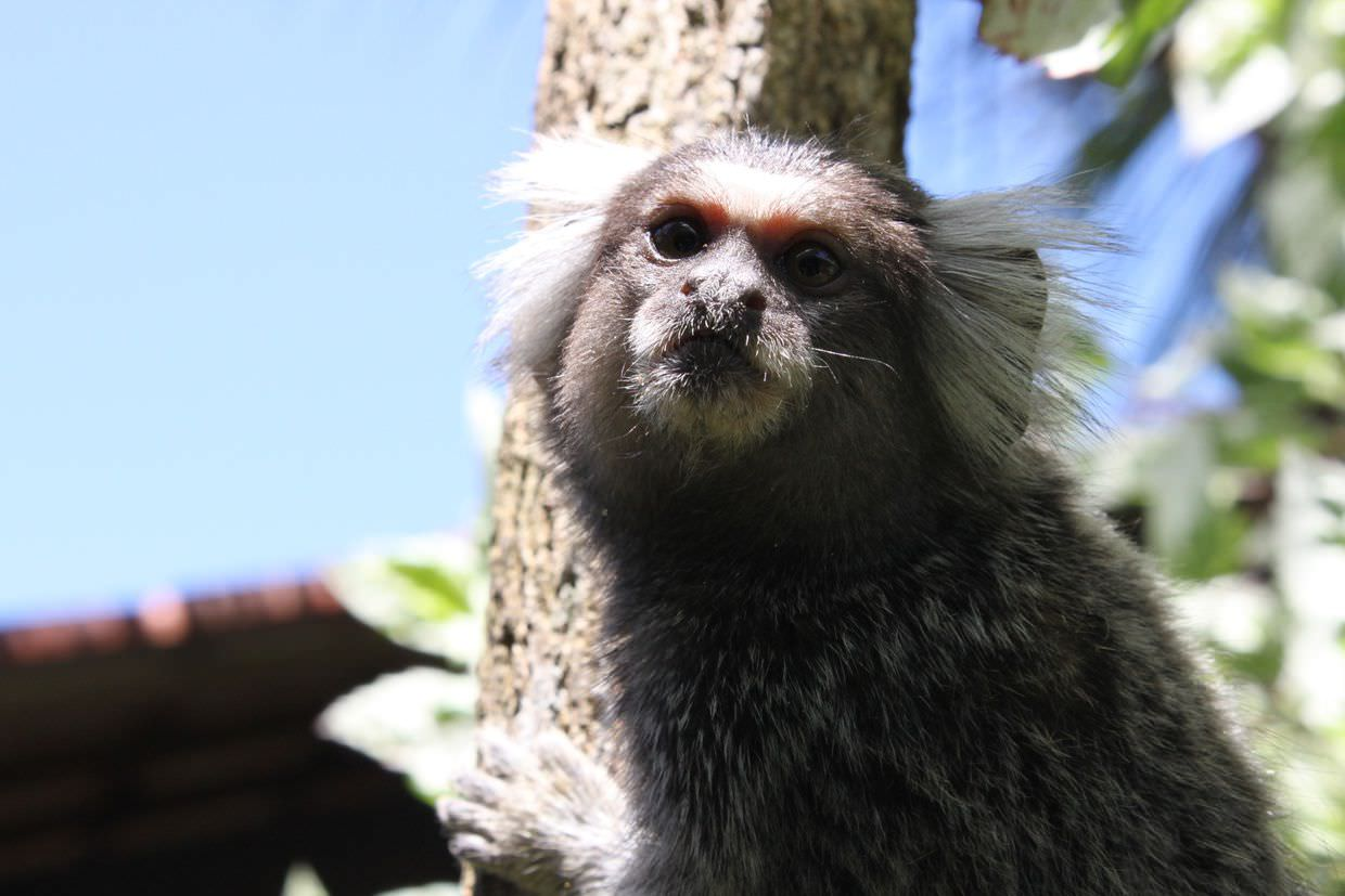Marmoset at Eliconial hotel