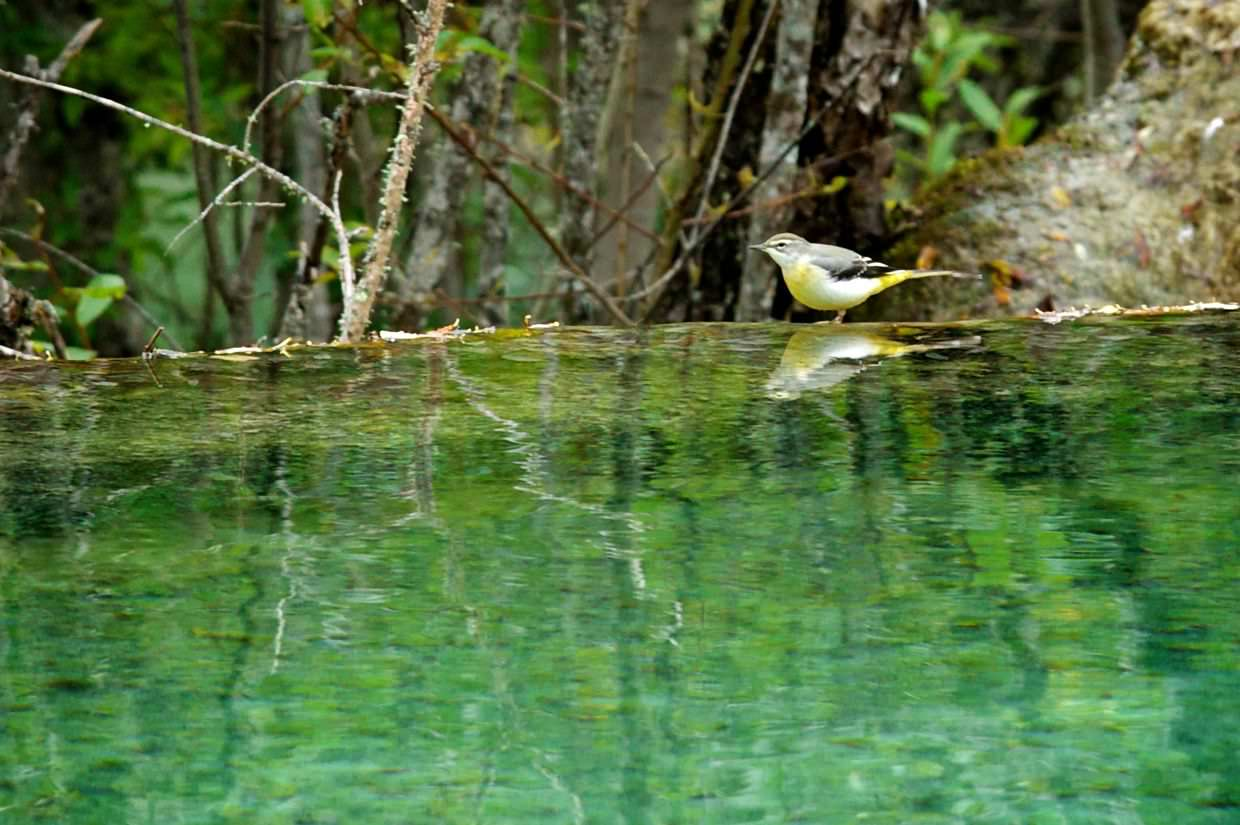 Songbird on the edge of a calcite pool
