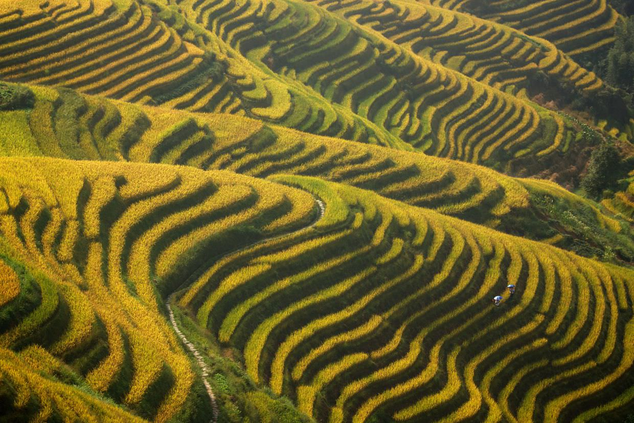 "Golden longsheng rice terraces at ""Seven stars around the moon"""