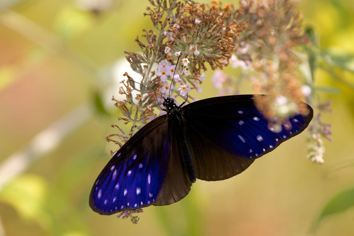 """Striped blue crow"" butterfly"
