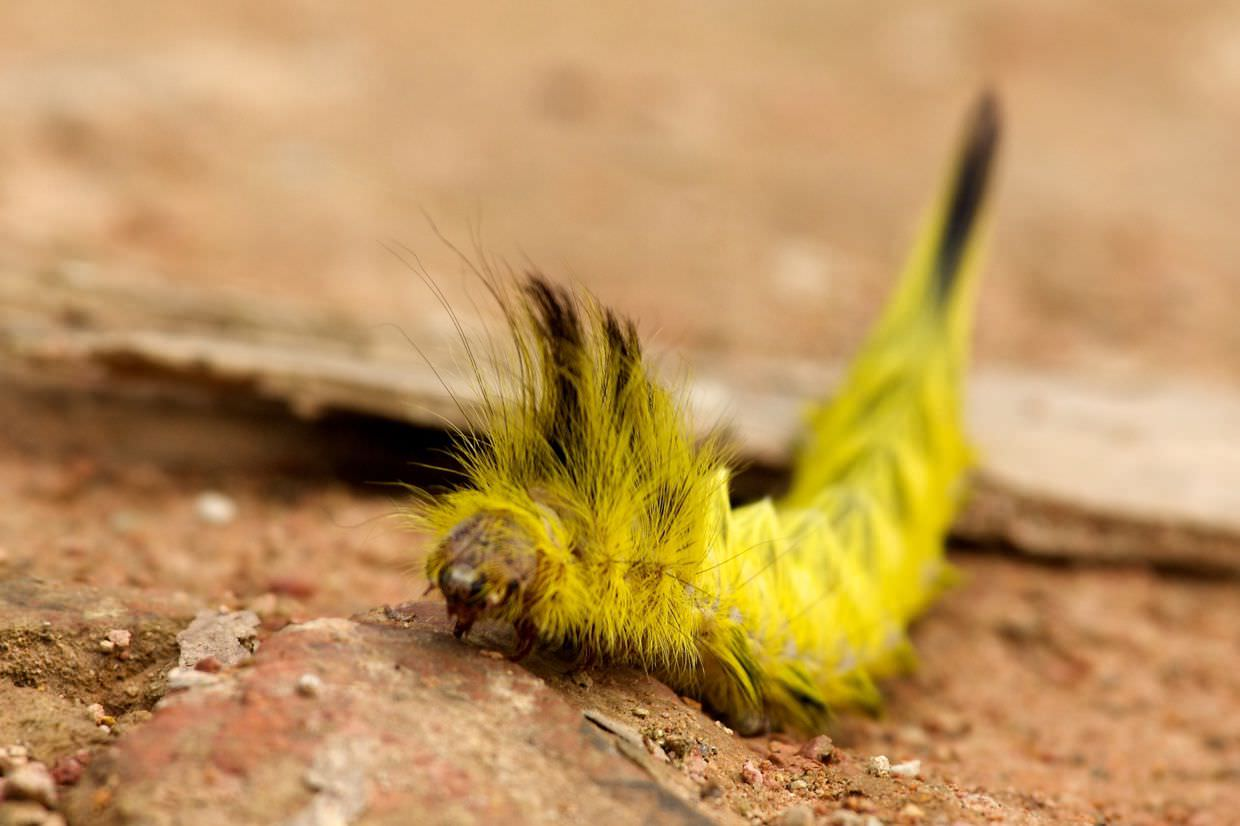 Unidentified hipster caterpillar