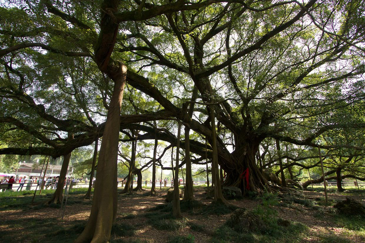 1400 year old Banyan tree