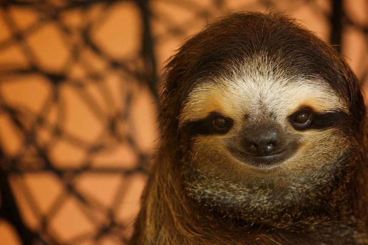 Buttercup the three-toed sloth
