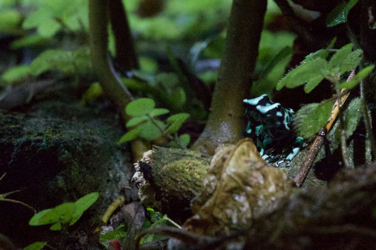 Poisonous black and green dart frogs