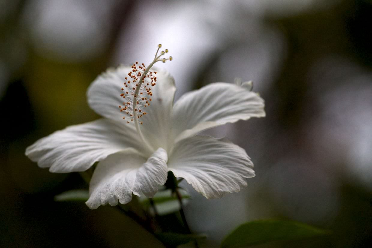 White hibiscus at Atlantida Lodge