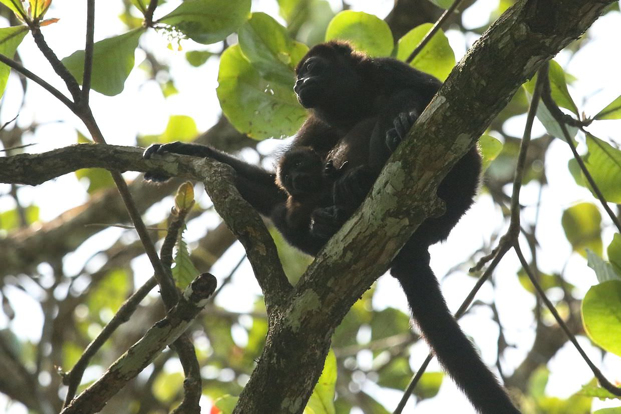 Howler monkey and young