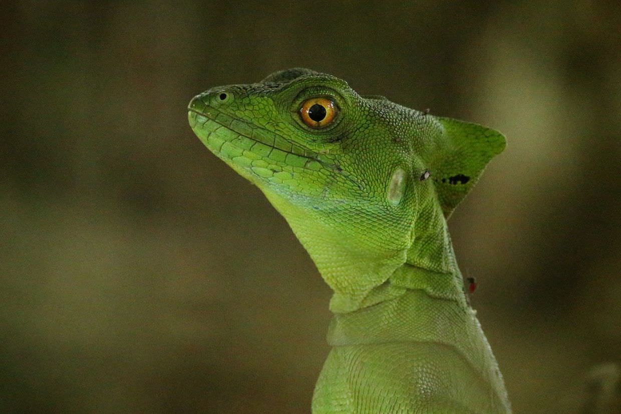 Green Jesus Christ lizard