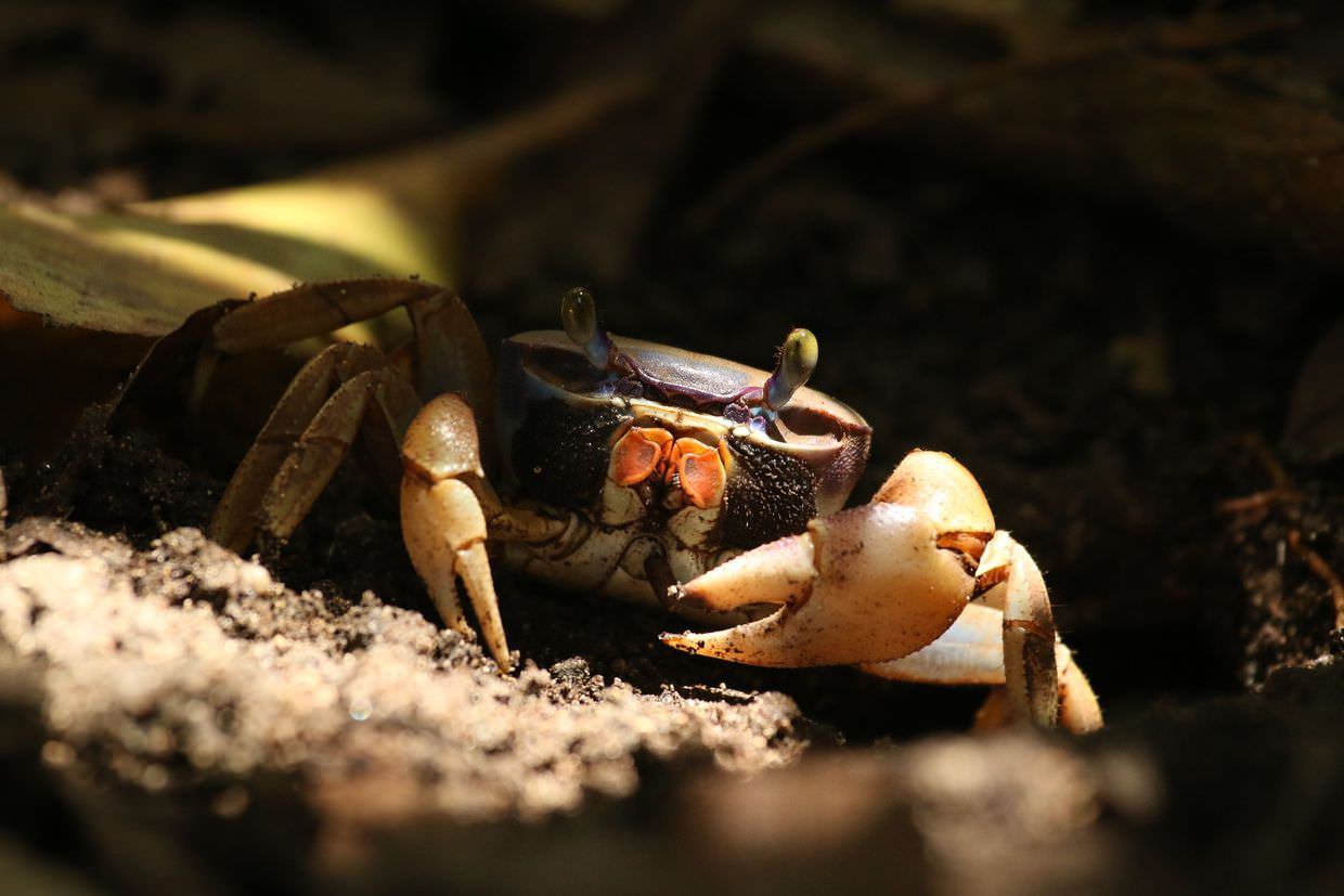 Red land crab