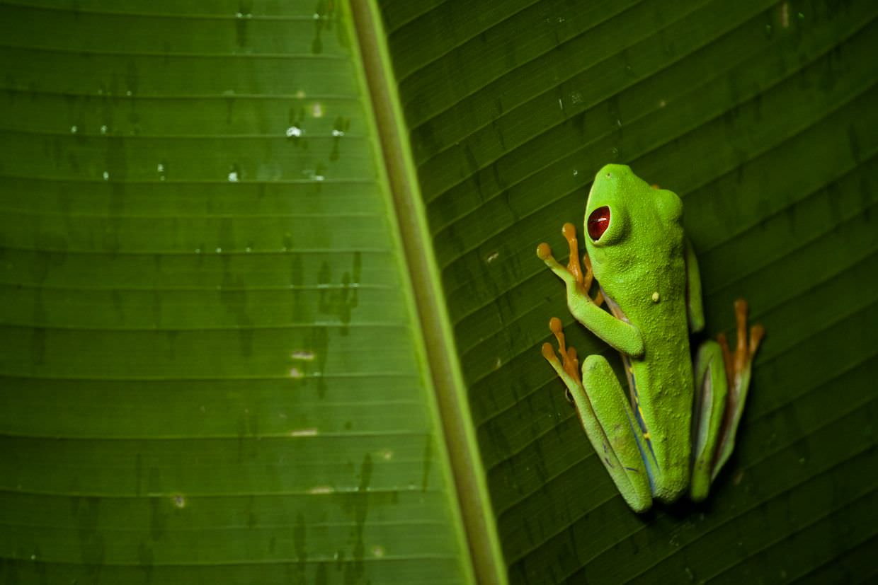 Red-eyed tree frog by Samantha