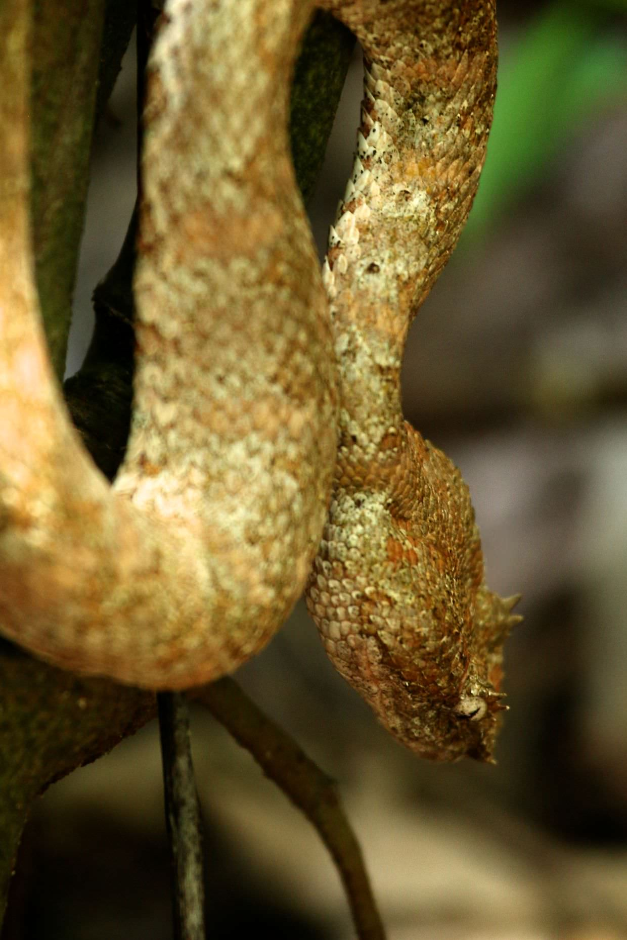 Brown eyelash pit viper