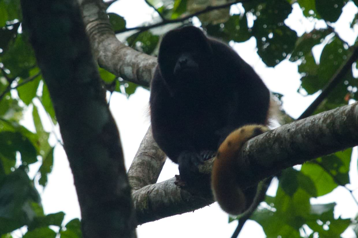 Howler monkey near the hotel with an interesting tail