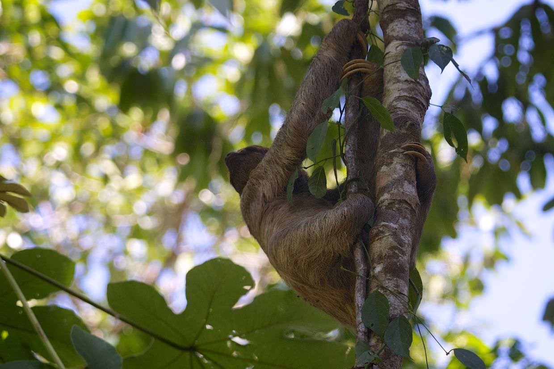 Active three-toed sloth