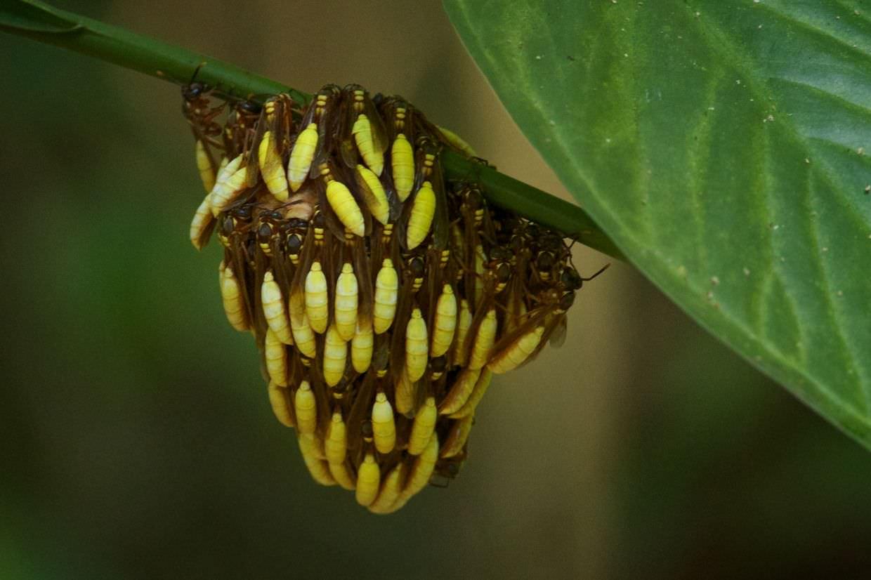 """""""Banana wasps"""" – Apoica pallens"""