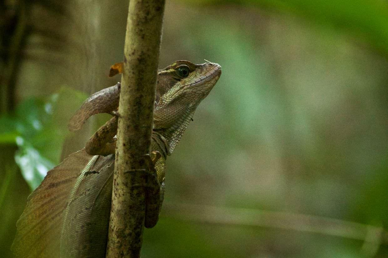 Common brown basilisk lizard