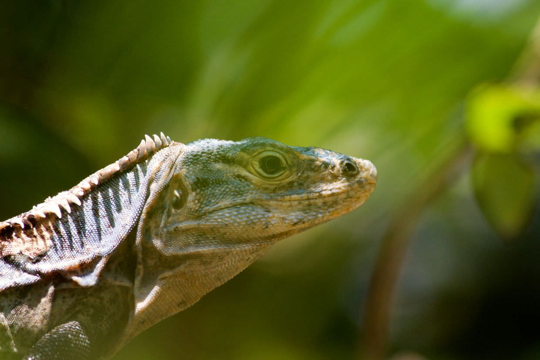 Black ctenosaur iguana