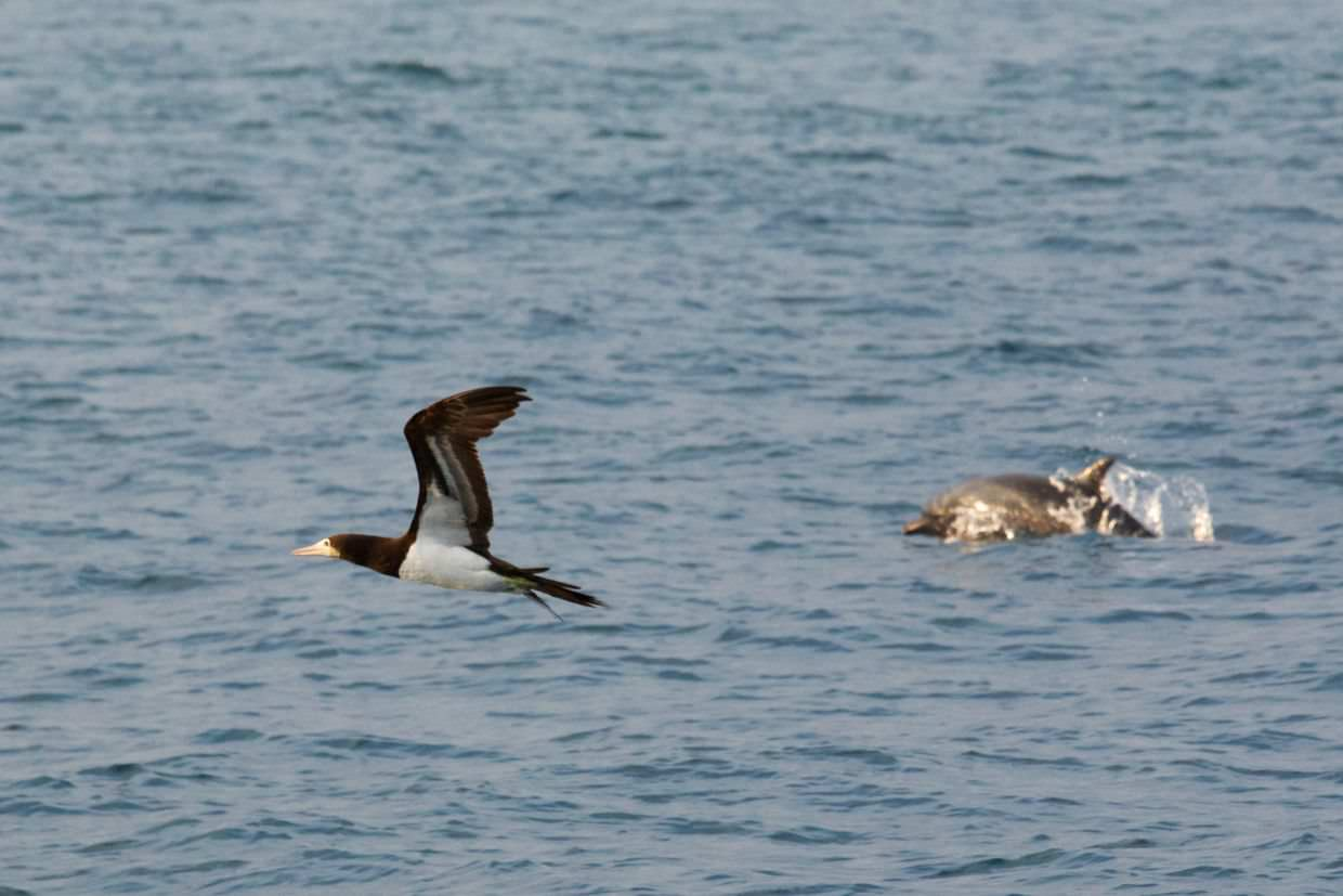 Brown booby and dolphin