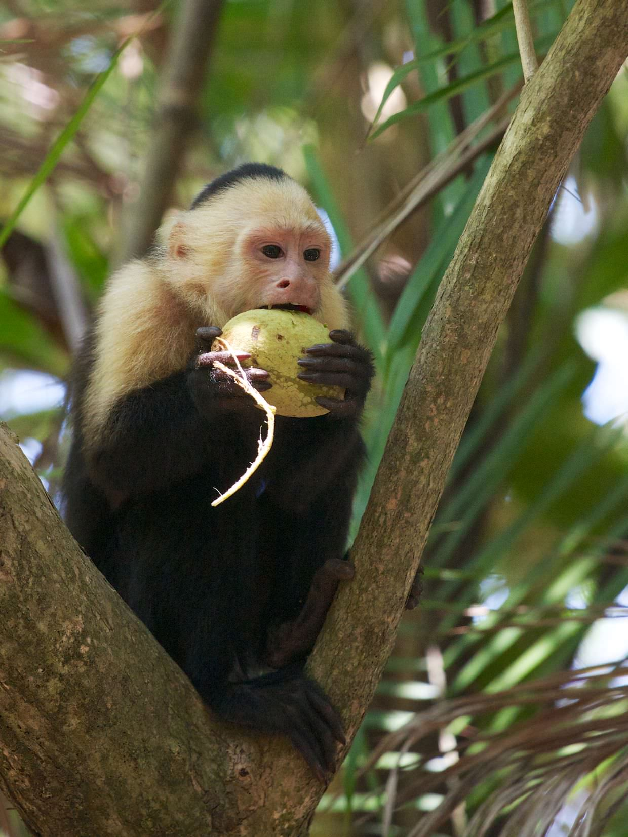 Hungry Capuchin monkey