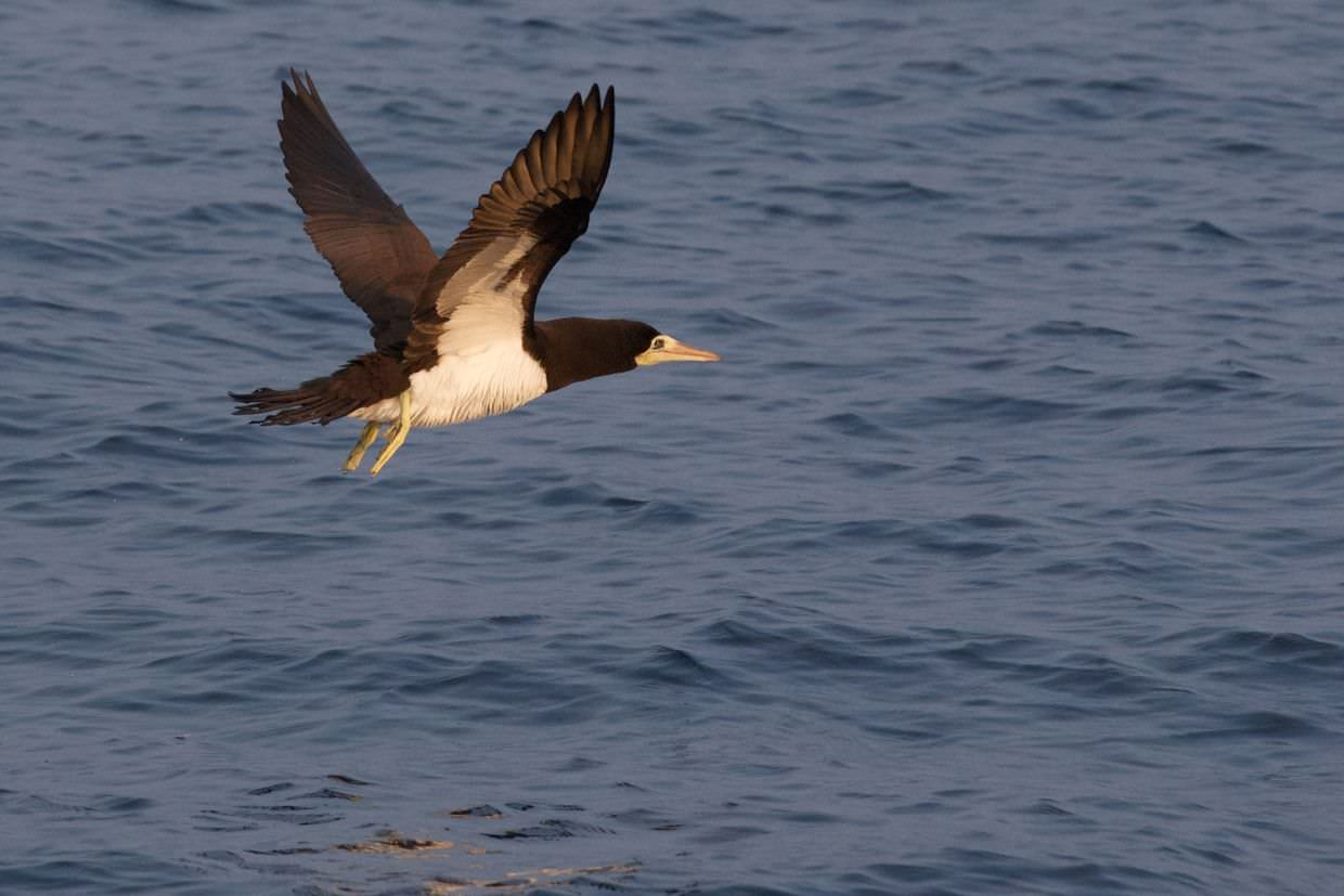 Flying brown booby