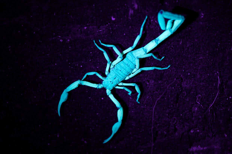 Bi-colour scorpion, glowing under UV torch light