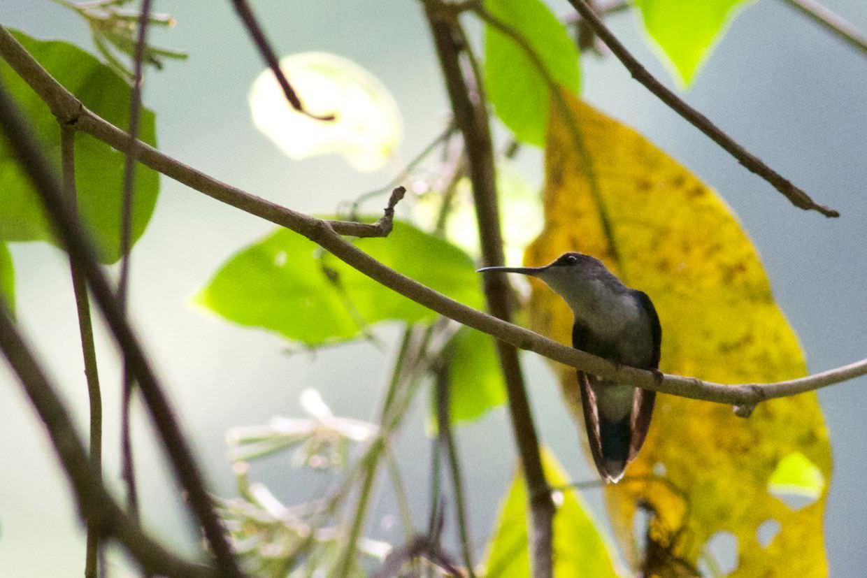 Little hermit hummingbird