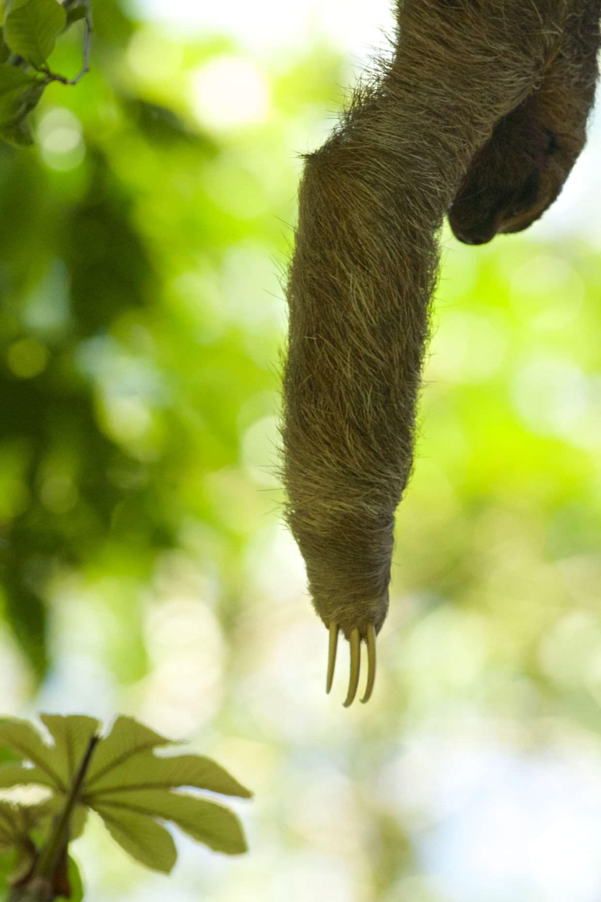 """""""Peak sloth"""", Sloth reaching for a leaf"""