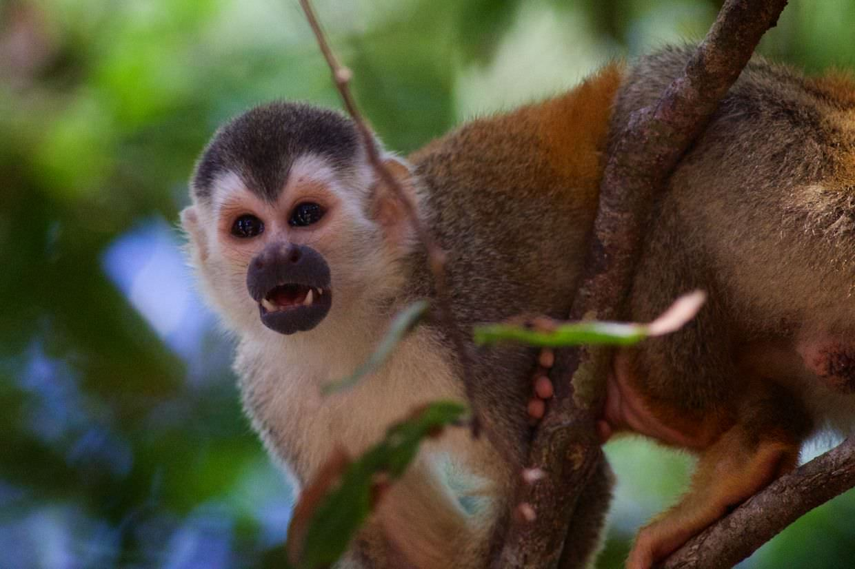 Squirrel monkey looking somewhat scary