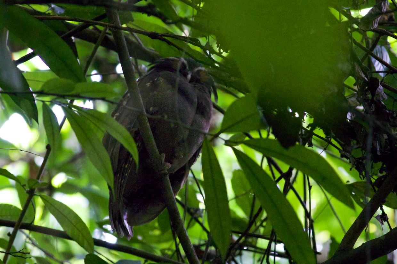 Sleeping crested owl