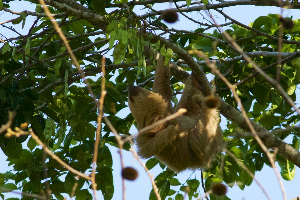 Active two-toed sloth (video)