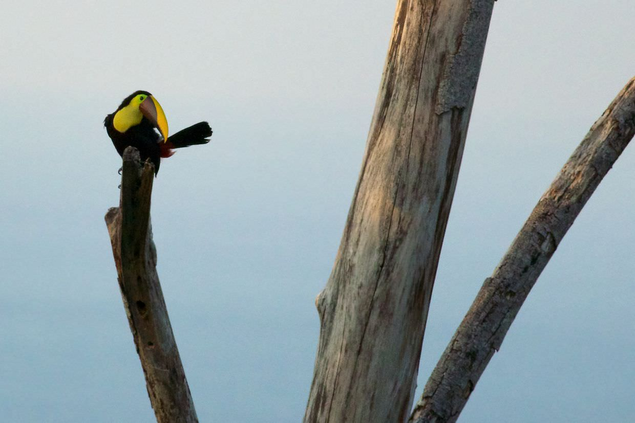 Black-mandibled toucan seen at dawn