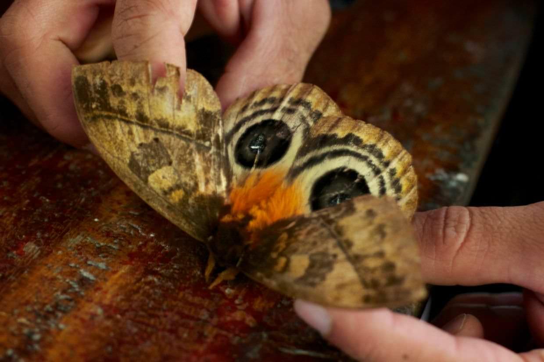 Owl moth (Automeris anikmeisterae)