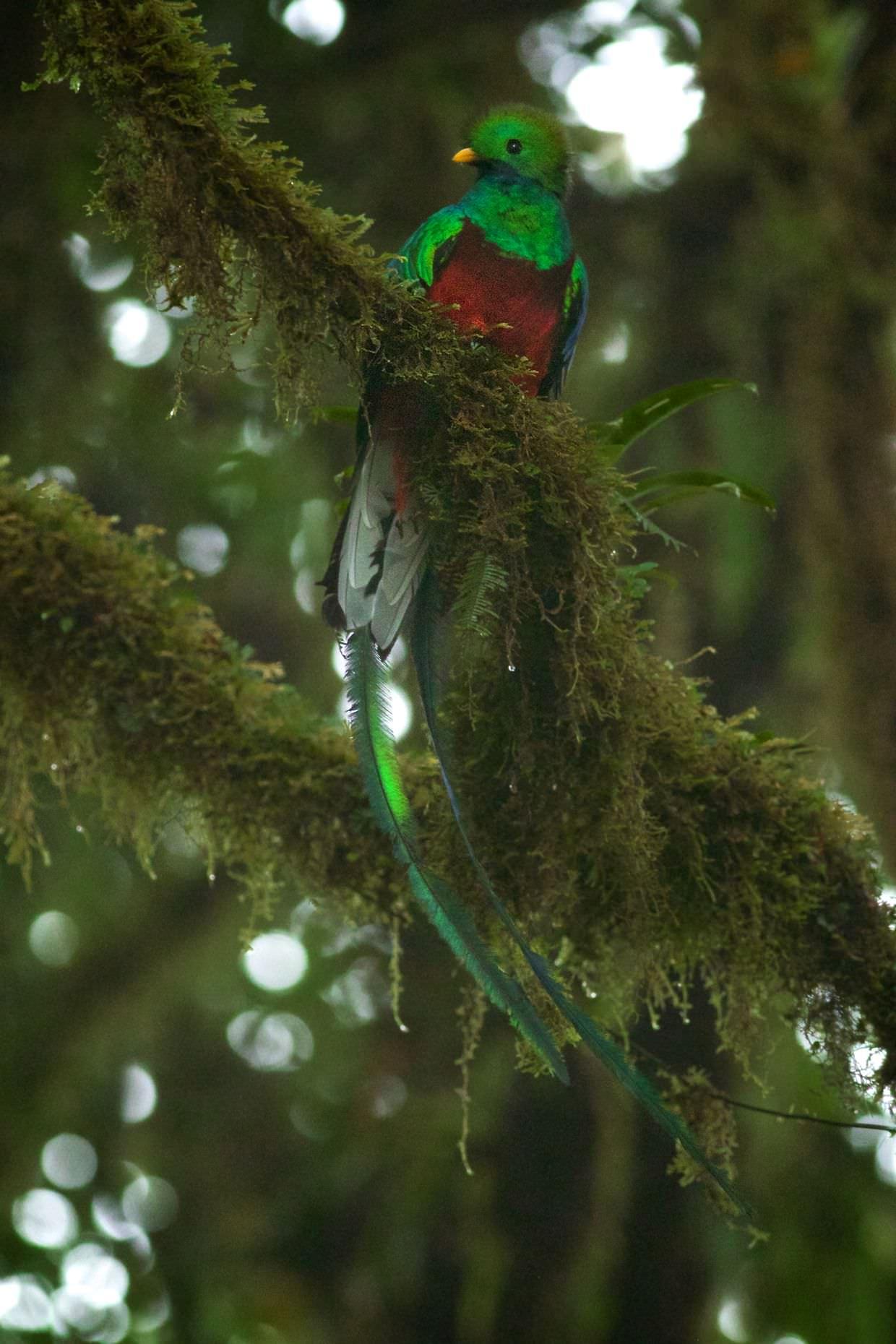 The magnificent resplendent quetzal